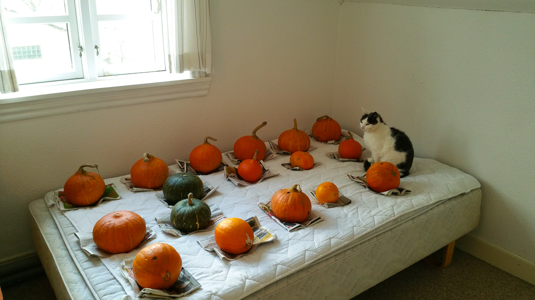 Pumpkins to bed